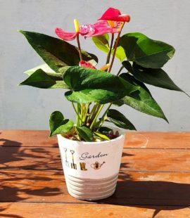 Garden Mini Anturio